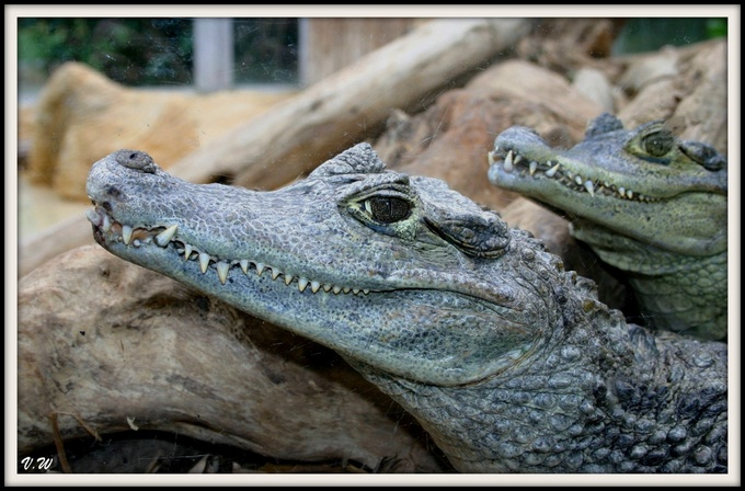 Crocodiles, aligatores, c'est caïman pareil