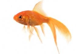 mon poisson rouge
