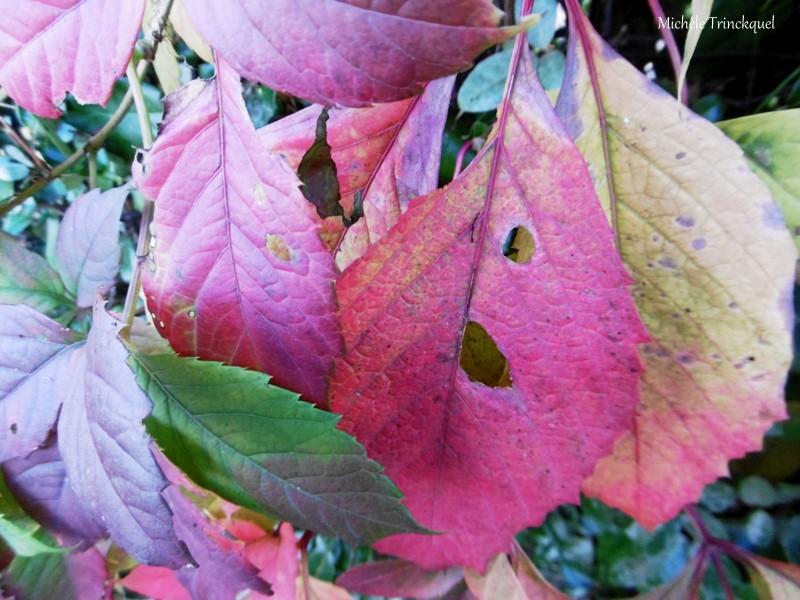 Des fleurs et des feuilles colorées dans mon village, le 31 octobre....