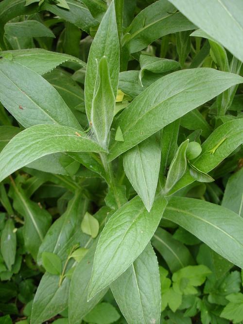 Vertus médicinales des plantes sauvages : Bleuet des moissons