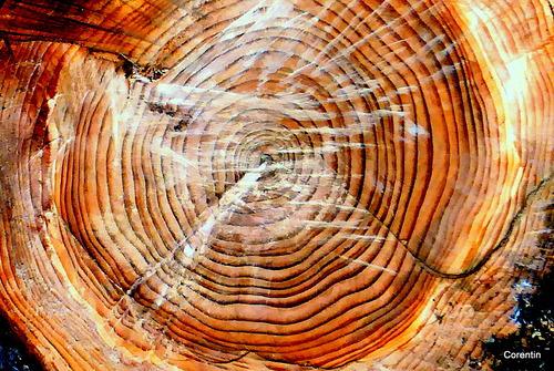L'arbre est coupé !
