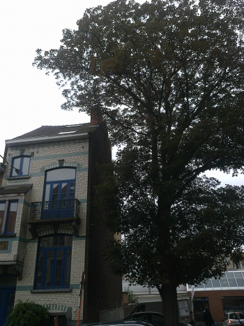 Arbre remarquable à Woluwe Saint-Lambert