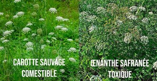Cueillette Confondre plantes