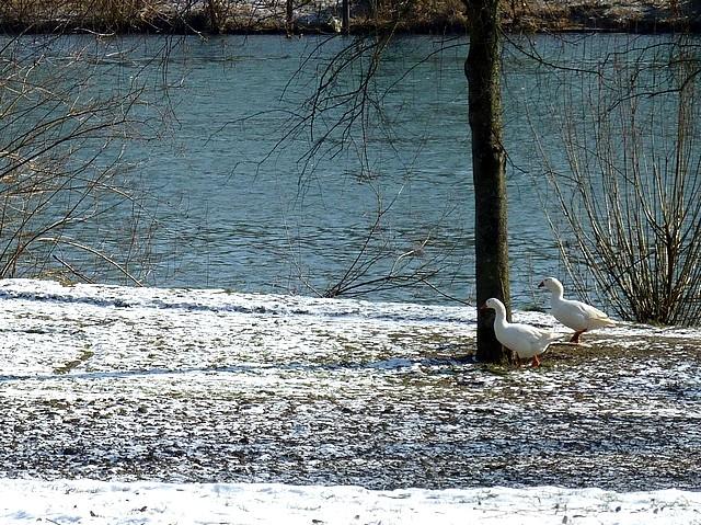 Oiseaux de Metz en hiver 23 Marc de Metz 2012