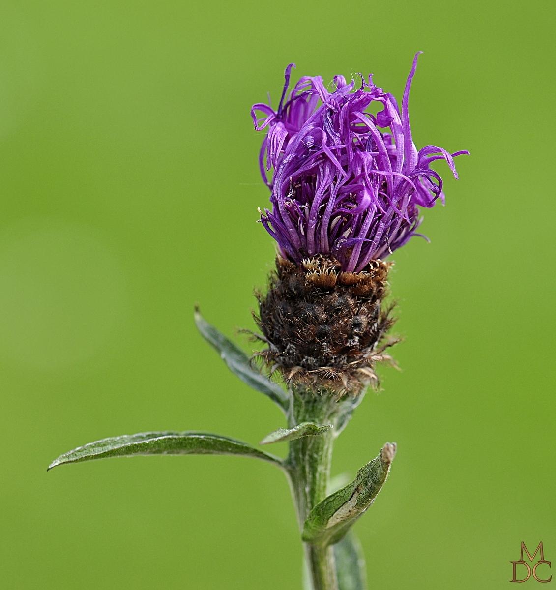 Centaurée des bois, Centaurea decipiens (nemoralis)