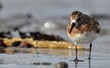 Bécasseau sanderling - p194