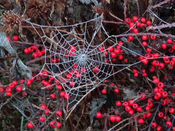 Pour fêter le nouvel an, les araignées de mon jardin ont réalisé de superbes toiles givrées !