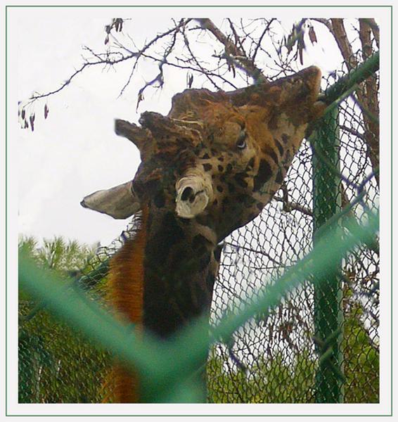 Girafe mangeant des feuilles d' acacia
