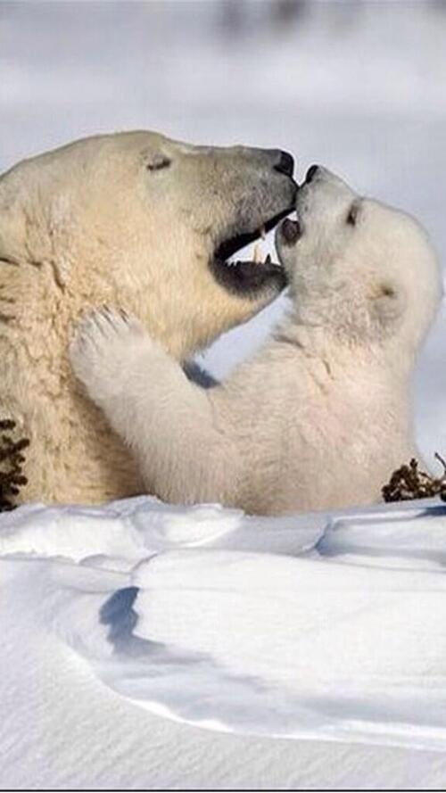 Beauté des ours blancs