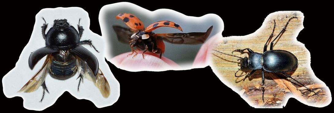 ♥ Les coléoptères