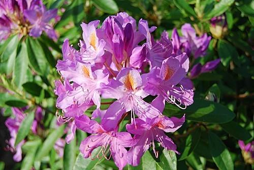 Rhododendron---fleurs-1.jpg