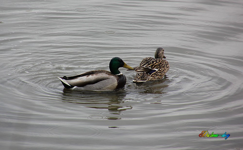 "canard colvert "" accouplement """
