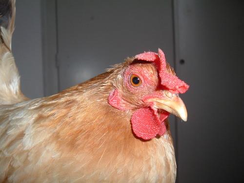 Ma petite poule Noisette