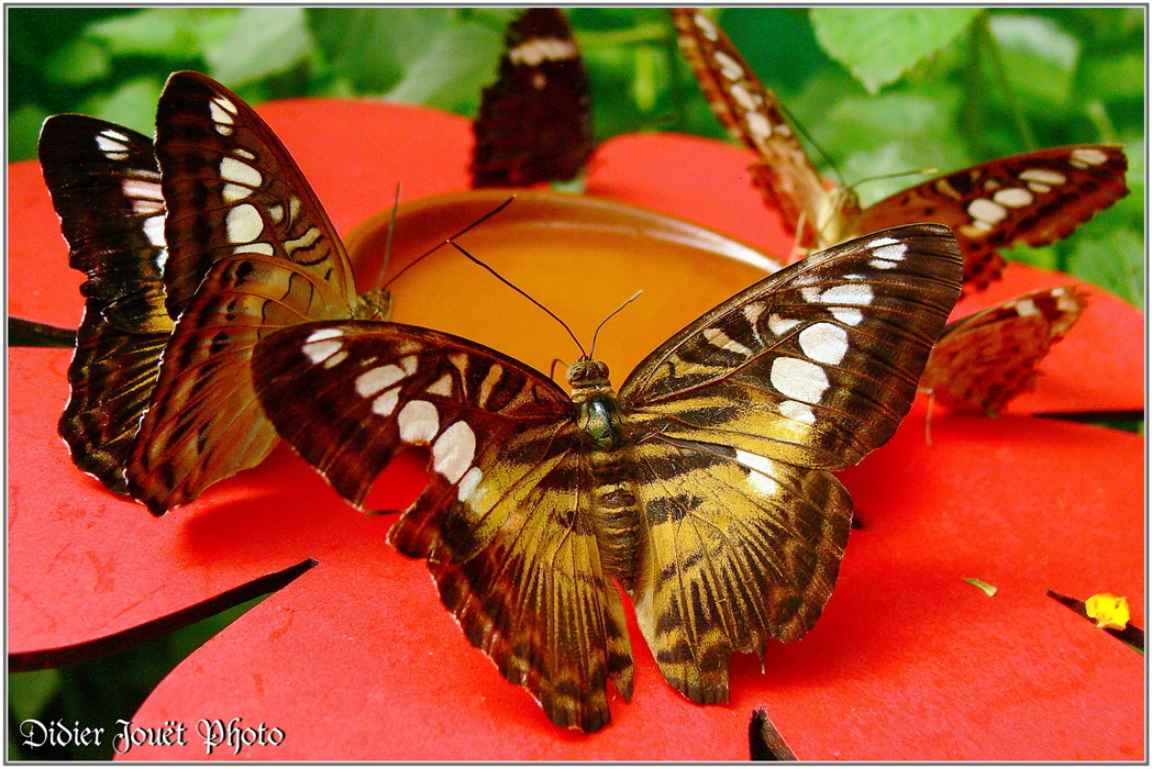 Clipper Brun / Parthenos sylvia