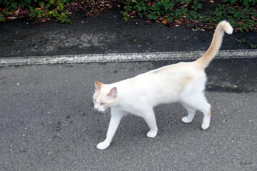 Un chat presque blanc