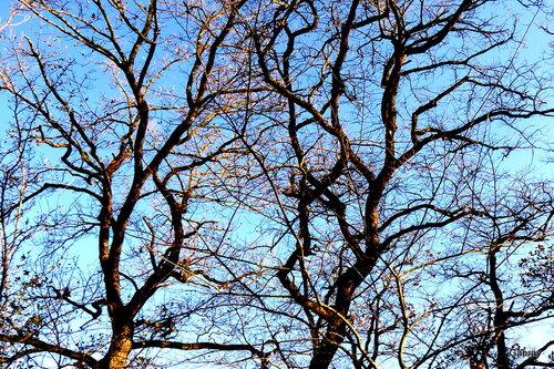 Les arbres nus de l'hiver