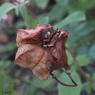 Lilium martagon - lys martagon