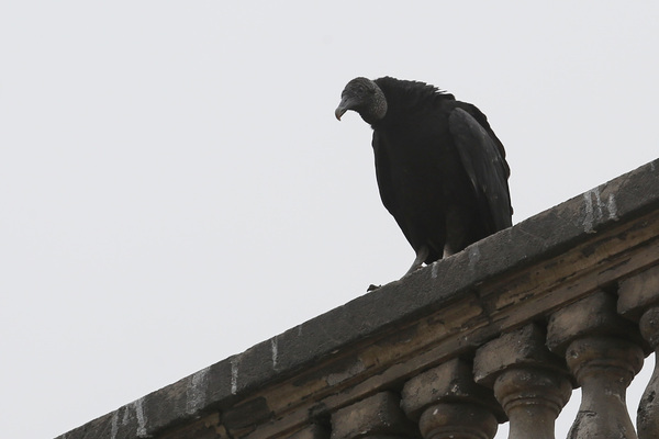 Lima - Urubu noir