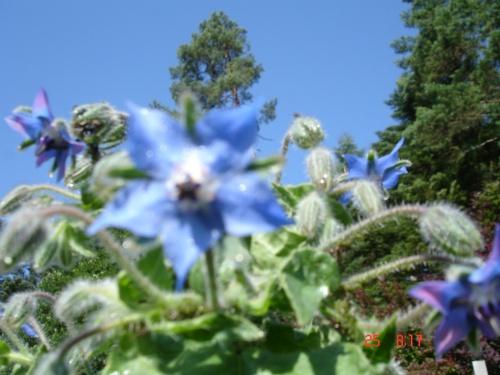 la fleur de bourrache
