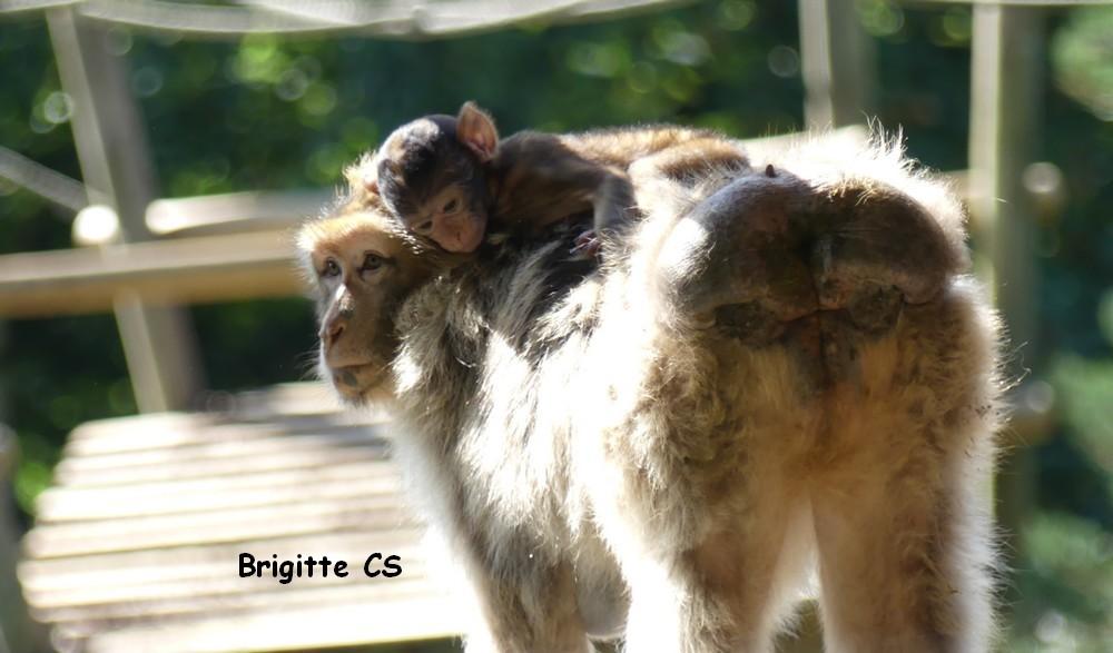 Moments de tendresse entre une mère chimpanzé et son bébé...