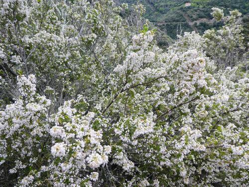 La bruyère blanche est en fleur