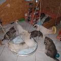 C'est la fiesta dans la maison pour chiots husky 6 semaines