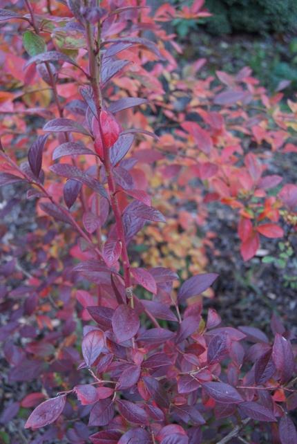 Mon jardin landais à la mi-novembre : feuillages d'automne.