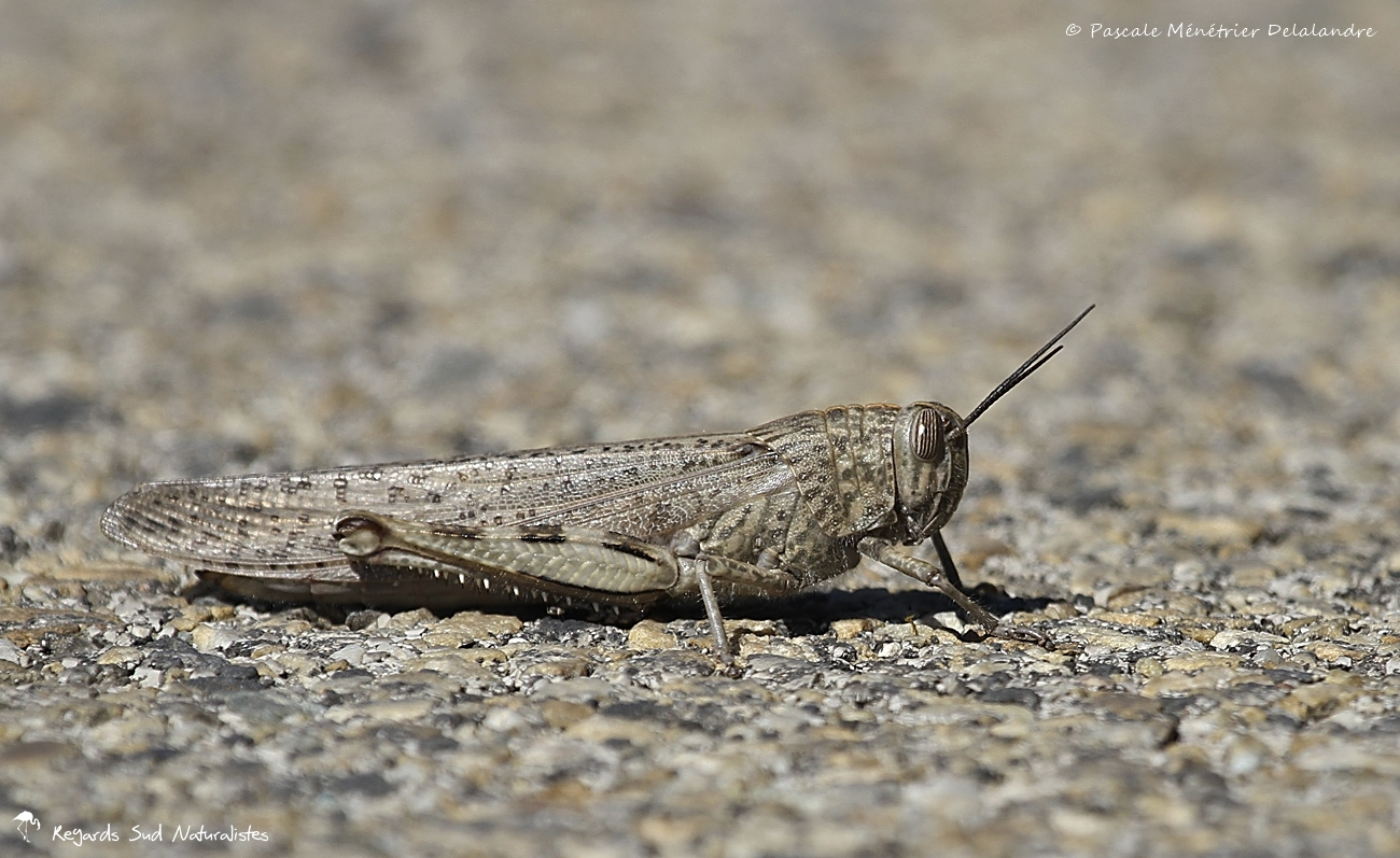 Criquet égyptien - Anacridium aegyptium - Egyptian grasshopper
