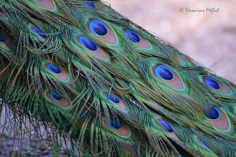 Parc Floral de Paris : La légende du paon bleu