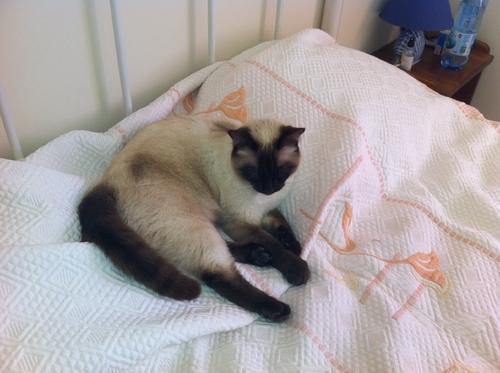 A adopter : Guizmo le Siamois
