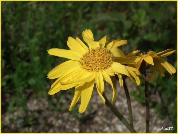DSCF3879-fleur-arnica.jpg