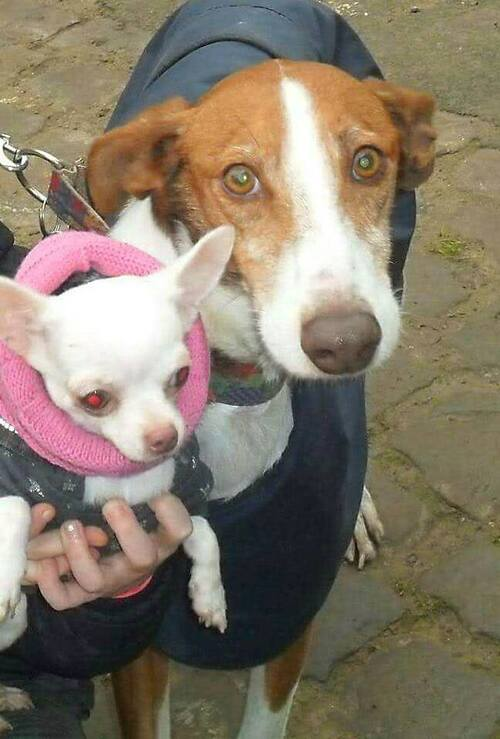 Notre défi! trouver enfin une famille à Luka, podenco tendresse  / SOS Podenco Rescue