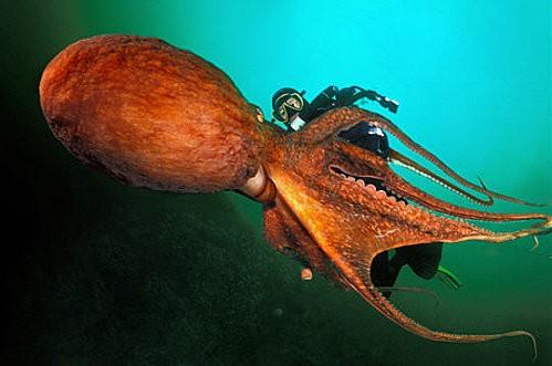 Pieuvre géante - Photo © Laurent Ballesta / L'Œil d'Andromède