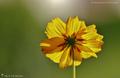 Fleurs à dominante jaune