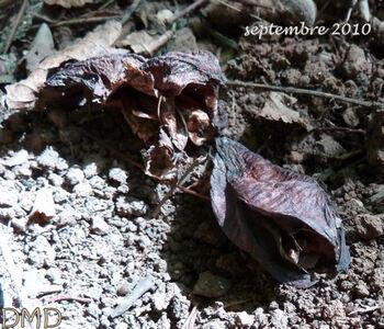 Colchicum autumnale - Colchicum multiflorum - colchique d'automne