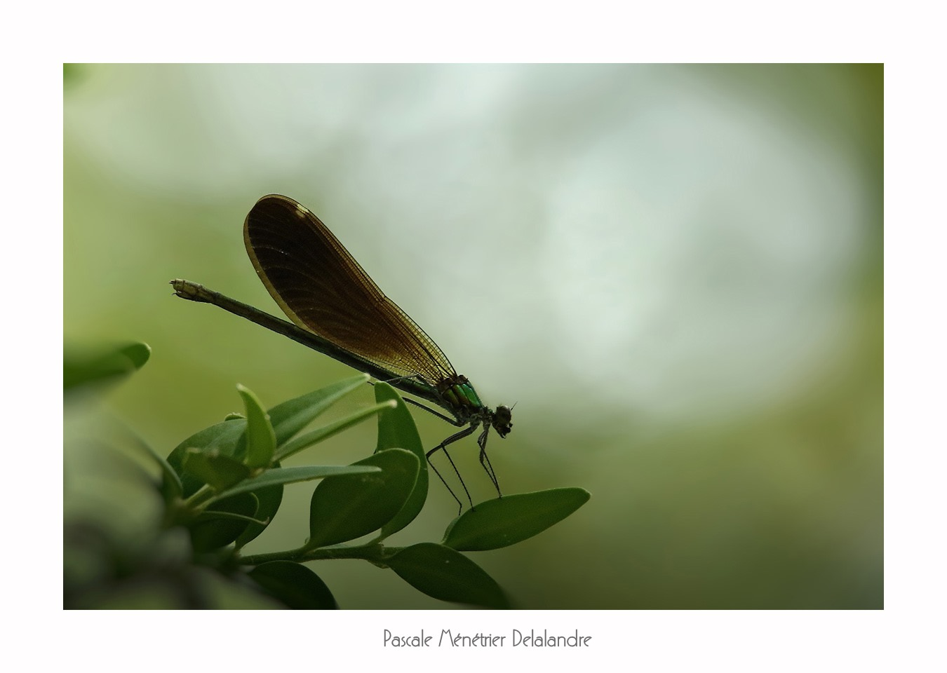 Calopteryx virgo ♀ & ♂ (Caloptéryx vierge)