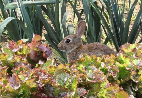 Le lapin du jardin