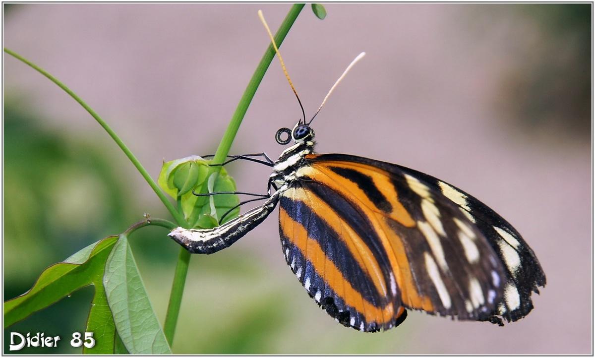 Oeil du Tigre (2) - Heliconius ismenius