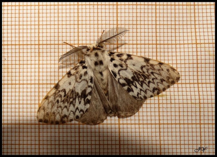 Lymantria monacha.