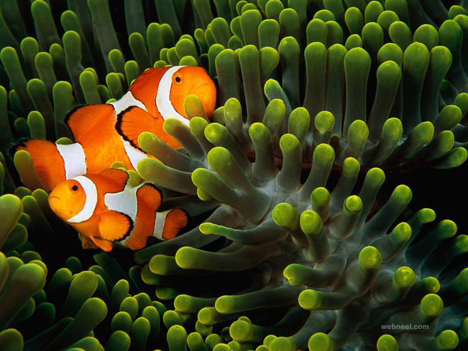 clown anemonefish indonesia laman underwater photography