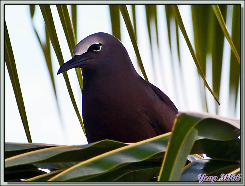 Noddi brun, Noddi niais (Anous stolidus) - Moorea - Polynésie française
