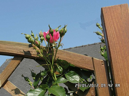 rose-001.gif