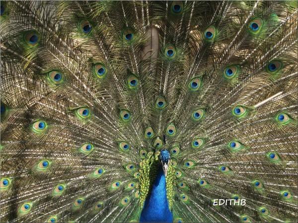 PAON bleu du parc animalier pradinas(3)