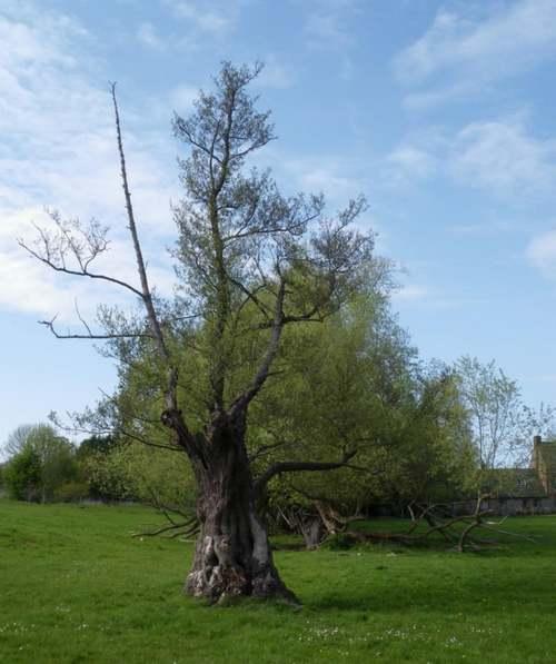 Vertus médicinale des arbres : AULNE