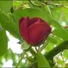 rosier rouge grimpant inconnu (santana?)