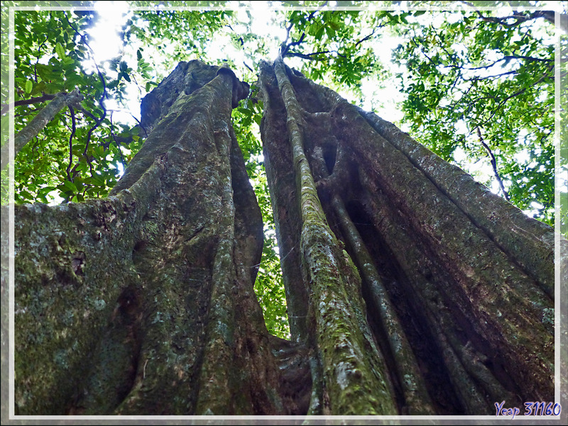 Bases de troncs de Châtaigniers tahitiens, Mape (Inocarpus fagifer) - Dans la forêt autour du Belvédère - Moorea - Polynésie française