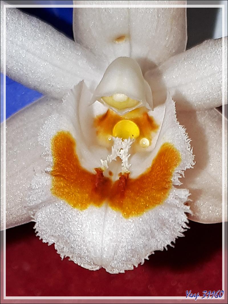 Orchidée Coelogyne holochila (?) (origine : Katmandou, Népal)