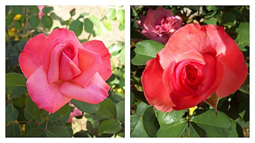 2-roses-le-29-aout-2011.jpg