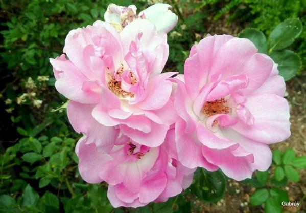 z26 - Rose