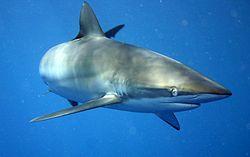 Un nouveau zoutils: le requin
